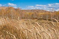 Arbres et herbes d'or sous le ciel bleu Images libres de droits