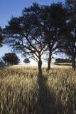 Arbres et ombres silhouettés dans le grasslamd Photographie stock libre de droits