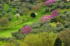 Arbres fleuris pourpres de judas d'arbres sous les murs du belvédère de forte à Florence, Italie images stock