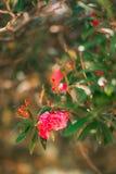 Arbres fleurissants d'oléandre dans Monténégro, la Mer Adriatique et Image libre de droits