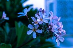 Arbres fleurissants de plan rapproché de fleurs blanches Photos libres de droits