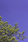 Arbres fleurissants de ressort photo libre de droits