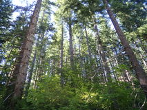 Arbres forestiers Image stock