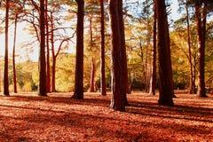 Arbres forestiers automnaux au coucher du soleil Photographie stock
