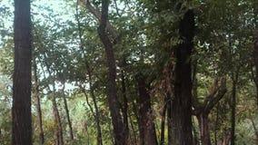 Arbres forestiers avec le vent banque de vidéos