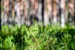 Arbres forestiers d'été Milieux en bois verts de lumi?re du soleil de nature Images stock