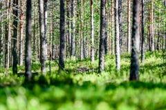 Arbres forestiers d'été Milieux en bois verts de lumi?re du soleil de nature Images libres de droits