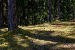 Arbres forestiers d'été Milieux en bois verts de lumi?re du soleil de nature Photos stock