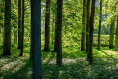 Arbres forestiers d'été Milieux en bois verts de lumi?re du soleil de nature Photographie stock