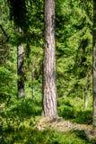 Arbres forestiers d'été Milieux en bois verts de lumi?re du soleil de nature Photographie stock libre de droits