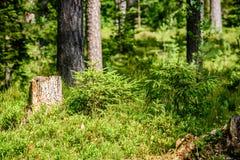 Arbres forestiers d'été Milieux en bois verts de lumi?re du soleil de nature Image stock