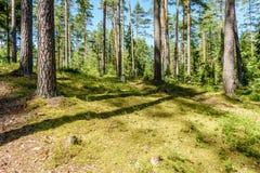 Arbres forestiers d'été Milieux en bois verts de lumi?re du soleil de nature Image libre de droits