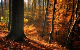 Arbres forestiers d'or d'automne Photos stock