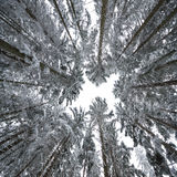 Arbres forestiers de l'hiver Photo stock