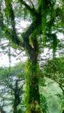 Arbres forestiers de Nainital, Inde Photos stock