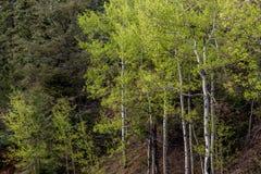 arbres forestiers de tremble photos libres de droits