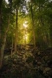 Arbres forestiers denses Images libres de droits