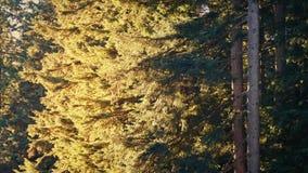 Arbres forestiers en brise la soirée ensoleillée clips vidéos