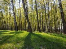 Arbres forestiers en Russie Photos libres de droits