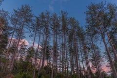 Arbres forestiers et ciel bleu avec les nuages roses Image libre de droits