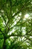 Arbres forestiers, feuilles de vert et lumière du soleil Image stock
