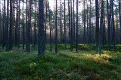 arbres forestiers foncés et déprimés à fin de soirée Images libres de droits