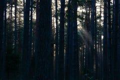 arbres forestiers foncés et déprimés à fin de soirée Photographie stock
