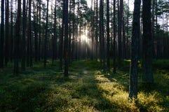 arbres forestiers foncés et déprimés à fin de soirée Photos libres de droits