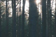 arbres forestiers foncés et déprimés à fin de soirée - rétro regard de vintage Photographie stock