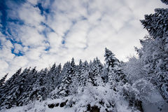 arbres frais couverts de neige Photos libres de droits