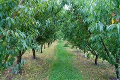 Arbres fruitiers avec les fruits juteux mûrs pendant des branches image stock