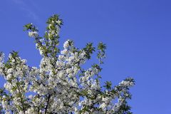 Arbres fruitiers fleurissant dans blanc en premier ressort dans le jardin un jour ensoleill? photos libres de droits