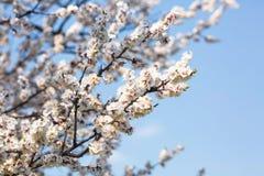 Arbres fruitiers fleurissants au printemps étroits  photographie stock