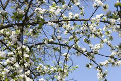 Arbres fruitiers fleurissants photographie stock
