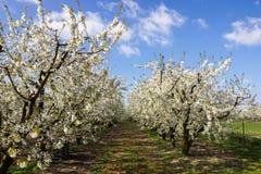 Arbres fruitiers fleurissants d'allée dans le verger Image stock