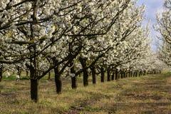 Arbres fruitiers fleurissants d'allée dans le verger Photographie stock