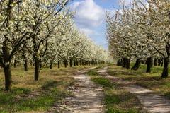 Arbres fruitiers fleurissants d'allée dans le verger Images stock