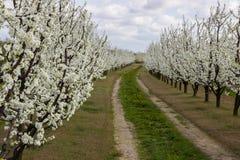 Arbres fruitiers fleurissants d'allée dans le verger Images libres de droits