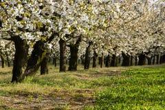 Arbres fruitiers fleurissants d'allée dans le verger Photographie stock libre de droits