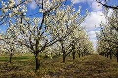 Arbres fruitiers fleurissants d'allée dans le verger Image libre de droits