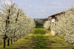 Arbres fruitiers fleurissants d'allée dans le verger Photos libres de droits