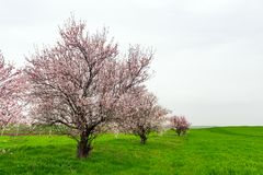 Arbres fruitiers fleurissants dans le domaine vert de ferme photos libres de droits