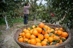 Arbres fruitiers, jardins, arbre orange Image stock