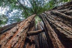 Arbres géants de séquoia sur la côte ouest des USA photographie stock libre de droits