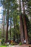 Arbres géants de séquoias Photographie stock
