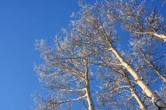 Arbres givrés d'Aspen dans une forêt d'Alaska Images libres de droits