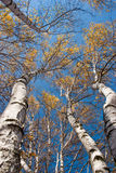 Arbres grands avec les lames jaunes sous le ciel bleu Photo libre de droits