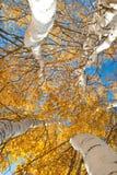 Arbres grands avec les lames jaunes sous le ciel bleu Image libre de droits