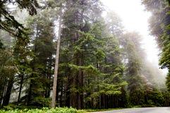 Arbres grands de séquoia enveloppés en brouillard image stock