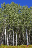 Arbres grands de tremble dans les bois image libre de droits